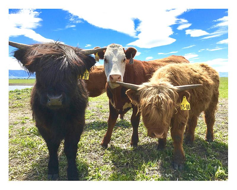 Scottish Highland, Montana Prime, Pasture Raised